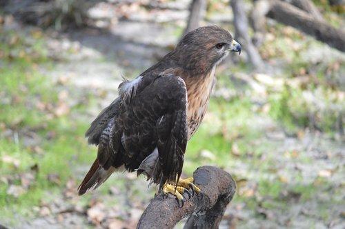 eagle  bird  perch