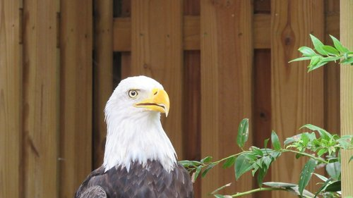 eagle  bald eagle  bird