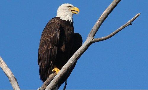eagle  bird  america