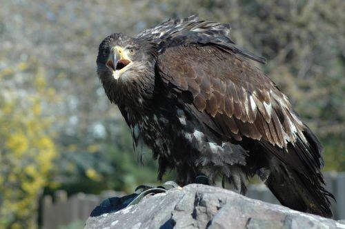 eagle 4 raptor sitting