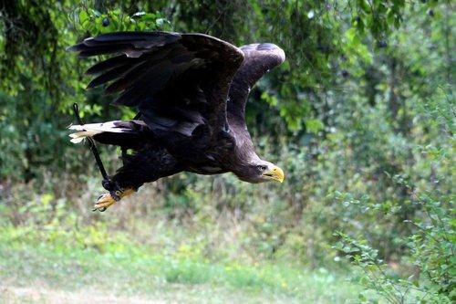 eagle  tame  flight
