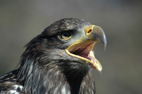 eagle 5 raptor calling