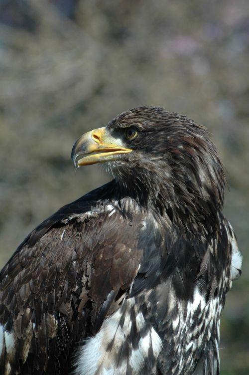 eagle 6 raptor sitting
