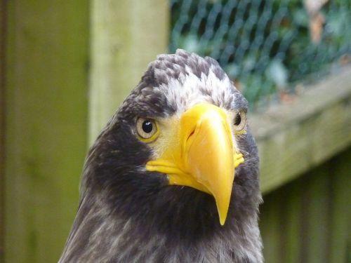 eagle raptor