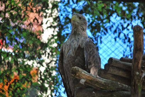 eagle white-tailed eagle bird