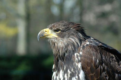 eagle 7 raptor sitting