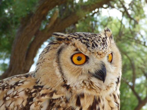 eagle owl wildlife
