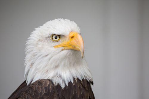 eagle nature wild