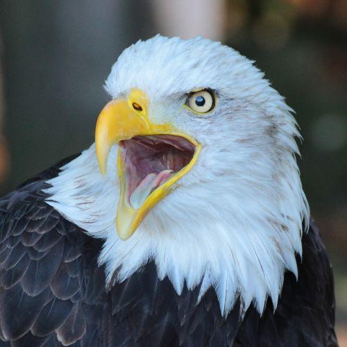 eagle bird closeup