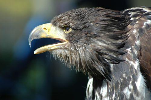 eagle 8 raptor observing