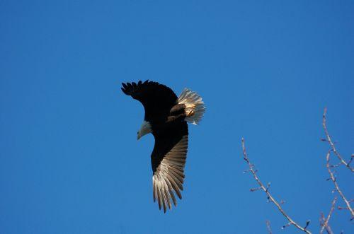 eagle flight bird