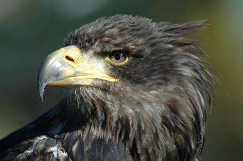 eagle 9 raptor observing