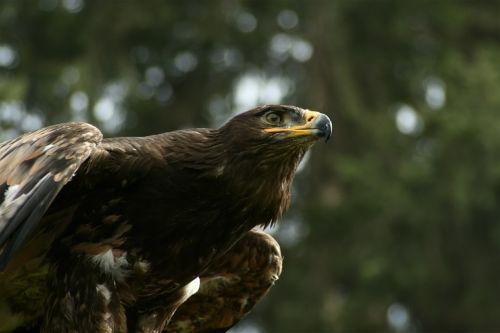 eagle eye adler bill