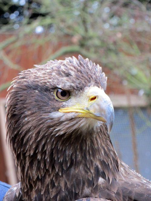 eagle head head of eagle eagle