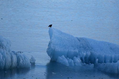 Eagle On A Iceberg
