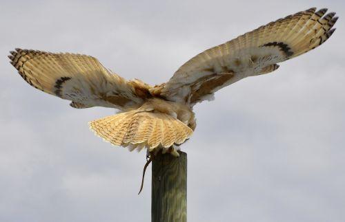 eagle owl feather owl