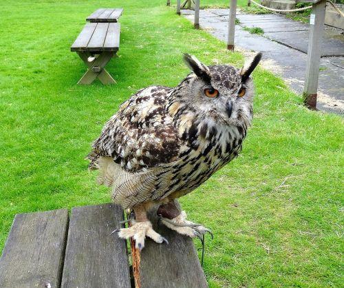 eagle owl eurasian owl