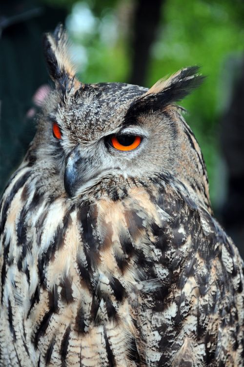 eagle owl raptors owls
