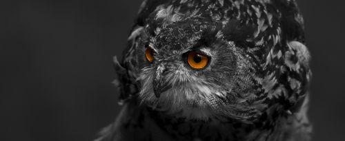 eagle owl bird eyes