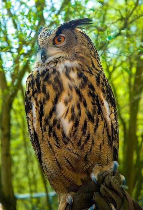 eagle owl owl bird of prey