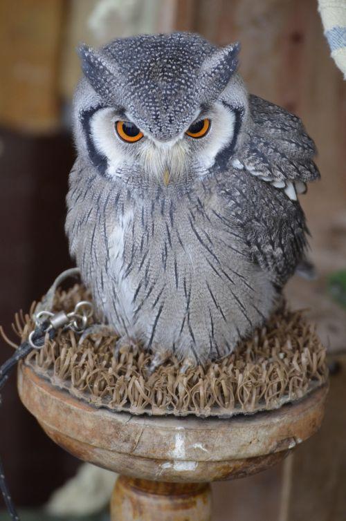 eagle owl bird bird of prey