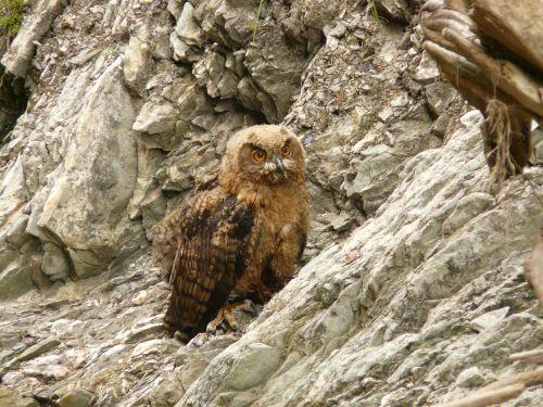 eagle owl bird rarely