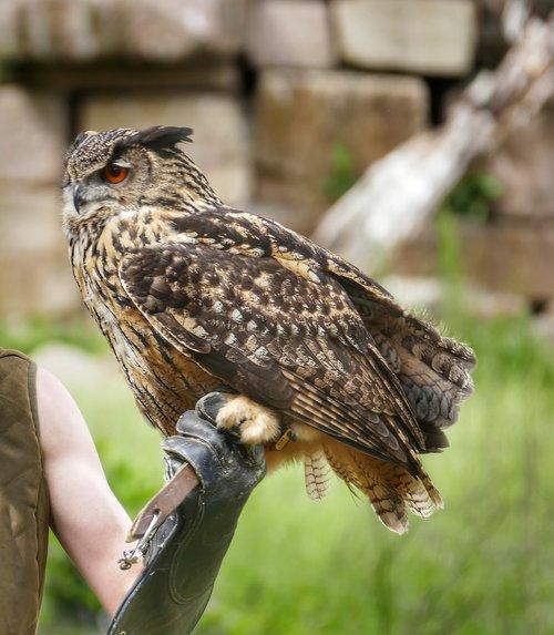 eagle owl  bird  owl