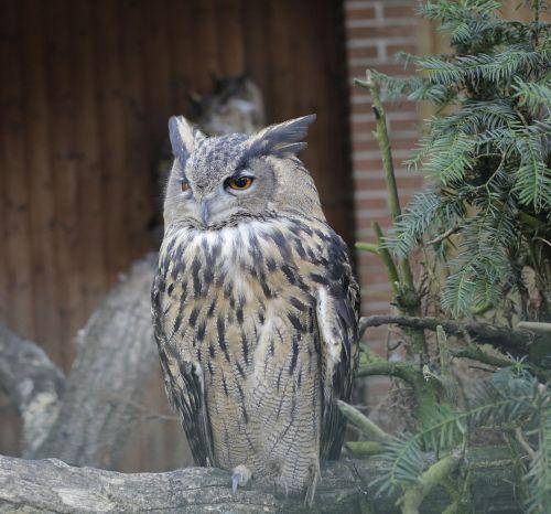 eagle owl owl bird