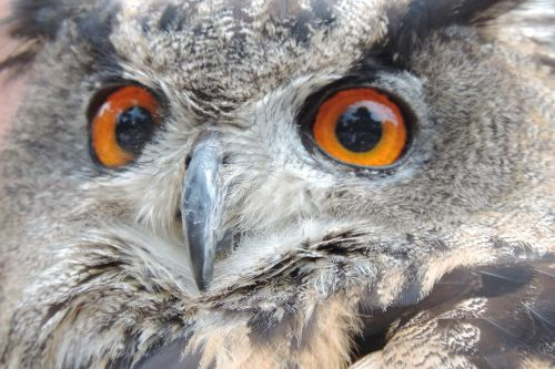 eagle owl bird eurasian eagle european owl