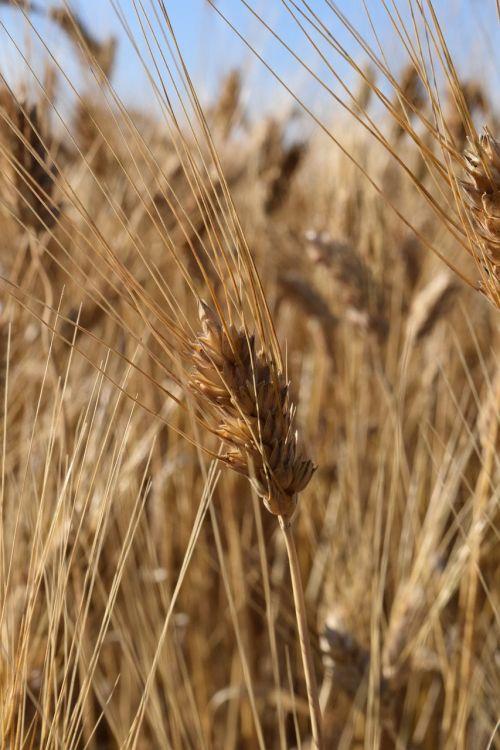 ear wheat cornfield