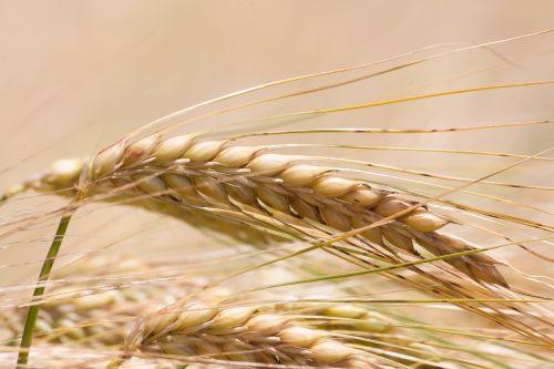 ear barley cereals