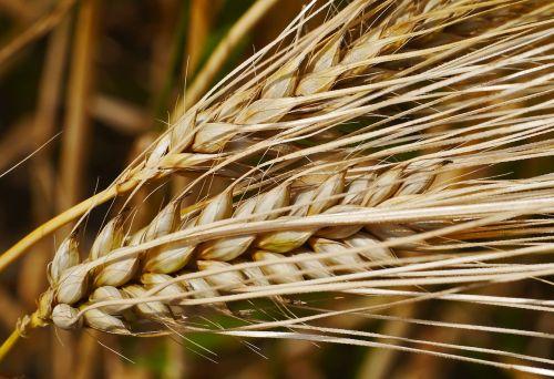 ear cereals grain