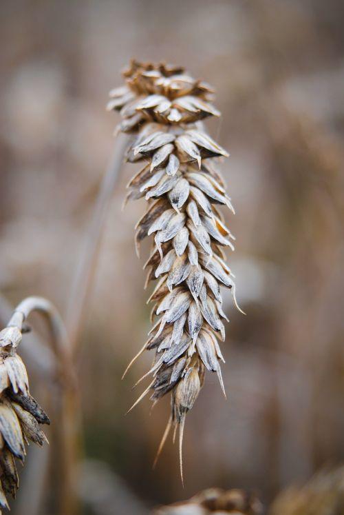 ear grain summer