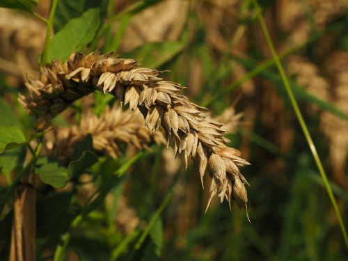ear wheat cereals