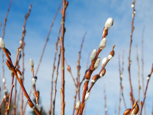 early spring wickers sprouting time