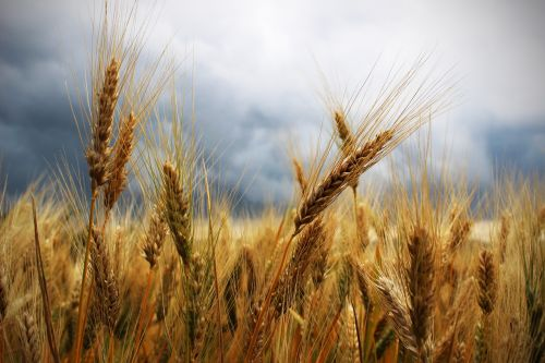 ears wheat thunderstorm