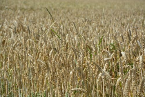 ears of wheat fields cereals