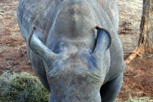 Ears Of White Rhinoceros