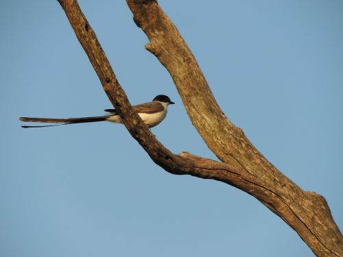 earwig bird nature