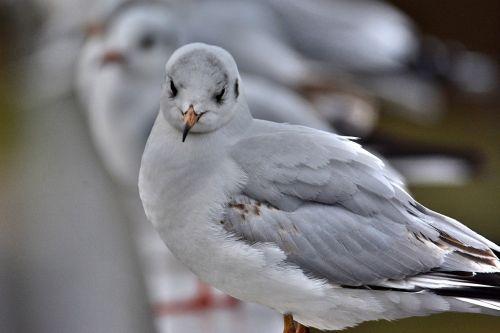 east frisia seagull cheeky