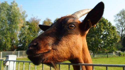 east frisia goat pet