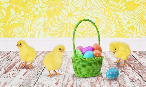 easter chicks baby chicks