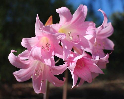 easter lilies  belladonna lilies  amaryllis belladonna