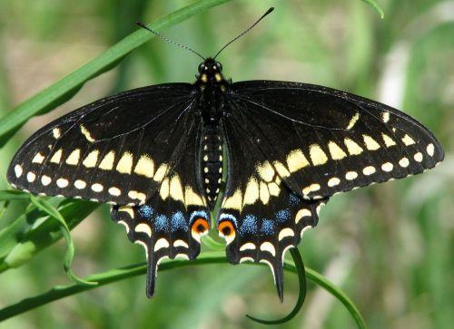 eastern black swallowtail american black swallowtail parsnip butterfly