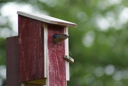 eastern bluebird leaving birdhouse food for chicks