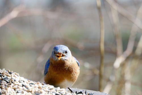 eastern bluebird bluebird feeder