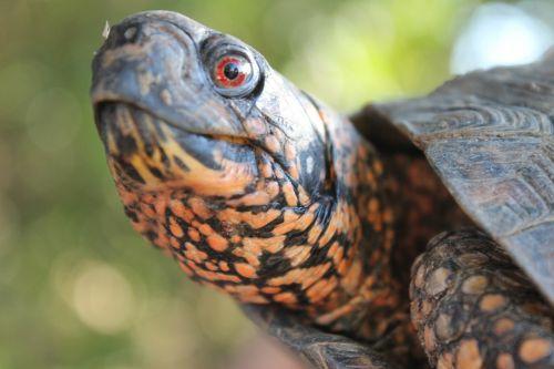 eastern box turtle reptile turtle