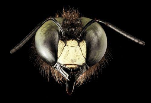eastern carpenter bee eyes macro
