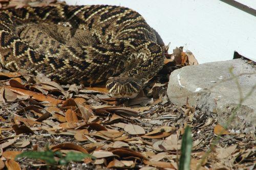 eastern diamondback rattlesnake viper poisonous