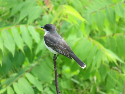 eastern kingbird bird wildlife